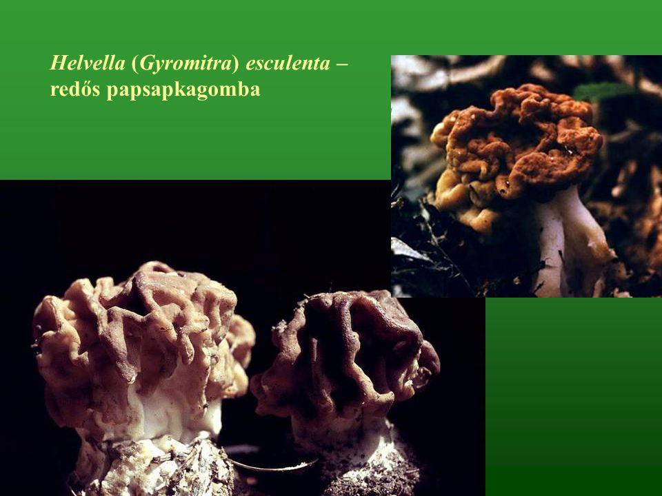Helvella (Gyromitra) esculenta – redős papsapkagomba