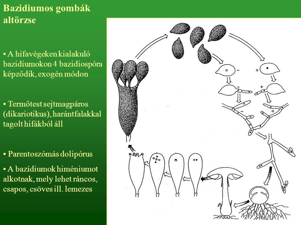 Bazidiumos gombák altörzse A hifavégeken kialakuló bazidiumokon 4 bazidiospóra képződik, exogén módon Termőtest sejtmagpáros (dikariotikus), harántfal