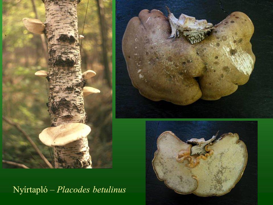 Nyírtapló – Placodes betulinus
