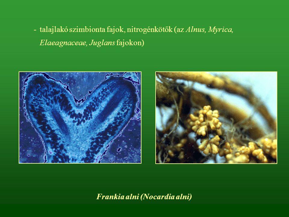 Erdeifenyő tűkarcgomba – Lophodermium pinastri