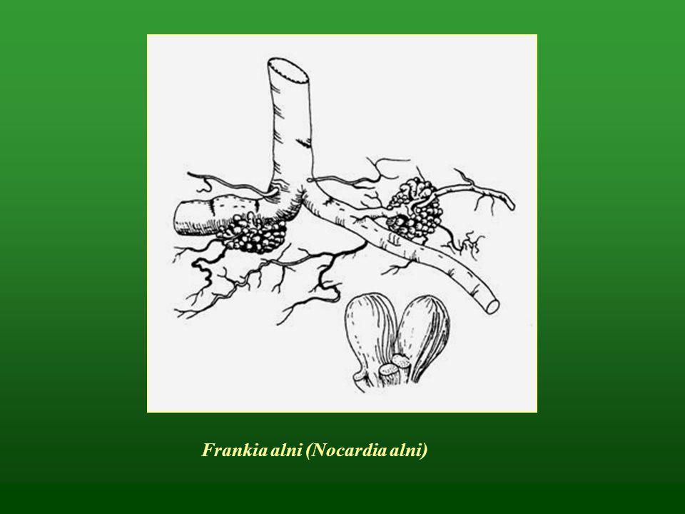 Világító tölcsérgomba – Omphalotus oleraius