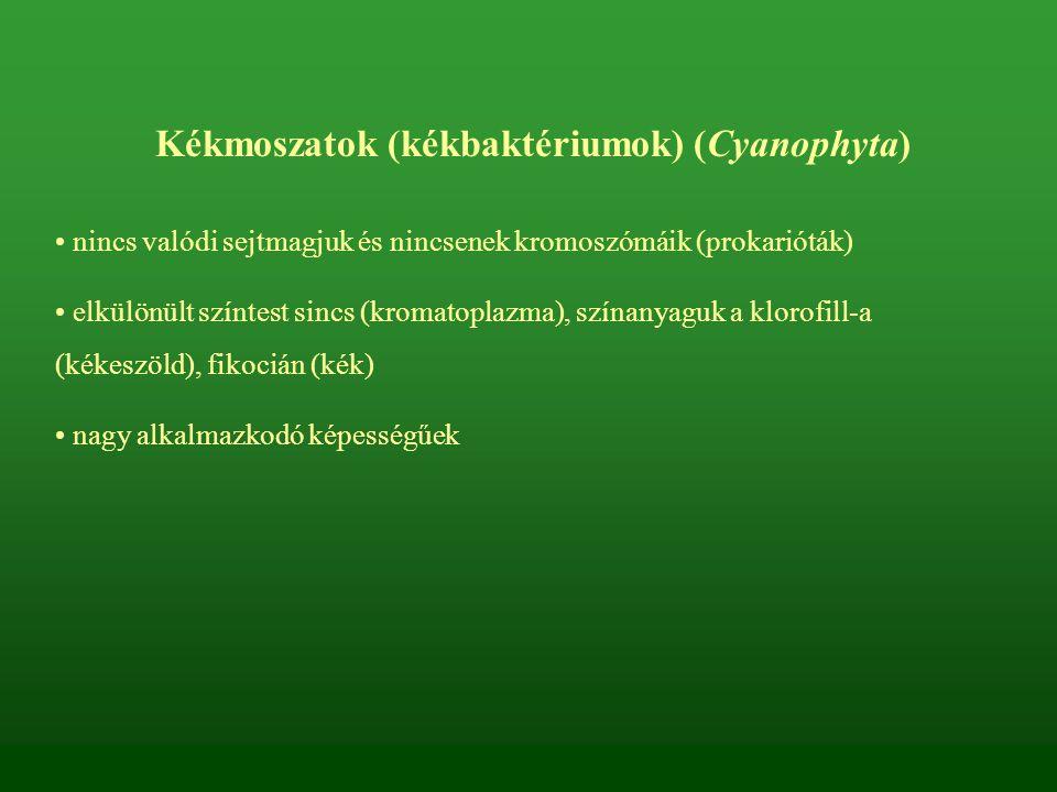 Valódi gombák (Eumycota) törzse Sejtfaluk van Testüket gombafonalak (hifák) építik fel, ezek fonadéka a micélium (esetenként fonadékköteg (rhizomorfa) vagy szövedék (plektenhima) is létrejöhet) Mozgó moszatgombák altörzse teljes vagy részleges életciklusukban zoospórásak főleg növényi (pl.