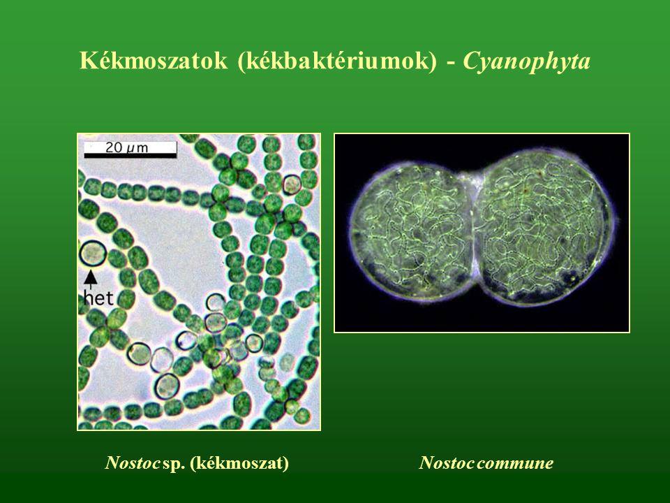 Kékmoszatok (kékbaktériumok) - Cyanophyta Nostoc sp. (kékmoszat) Nostoc commune
