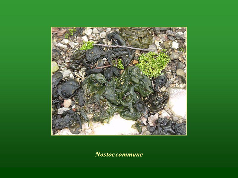 Moszatok (algák) – Algae Eukarióták Egyszerű felépítésű, asszimilációra képes növények Színanyagok (nagyrészt autotróf táplálkozásúak) Egy- vagy többsejtűek (pl.
