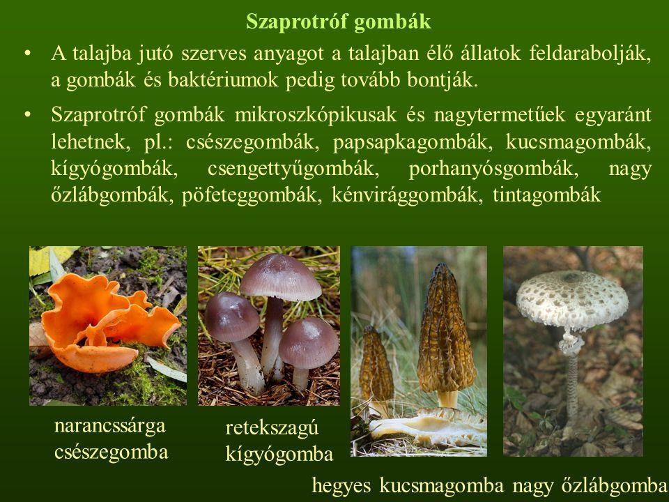 Szaprotróf gombák A talajba jutó szerves anyagot a talajban élő állatok feldarabolják, a gombák és baktériumok pedig tovább bontják. Szaprotróf gombák