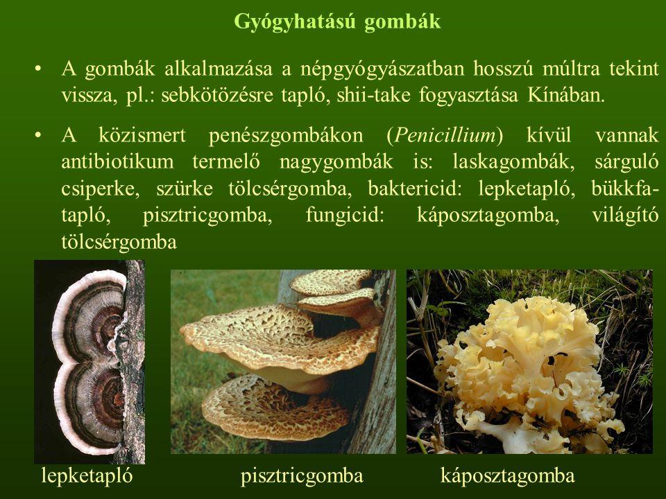 Gyógyhatású gombák A gombák alkalmazása a népgyógyászatban hosszú múltra tekint vissza, pl.: sebkötözésre tapló, shii-take fogyasztása Kínában. A közi