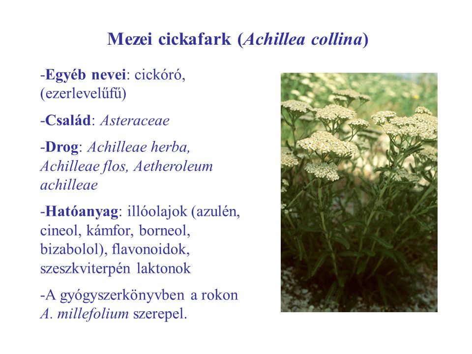 Mezei cickafark (Achillea collina) -Egyéb nevei: cickóró, (ezerlevelűfű) -Család: Asteraceae -Drog: Achilleae herba, Achilleae flos, Aetheroleum achil
