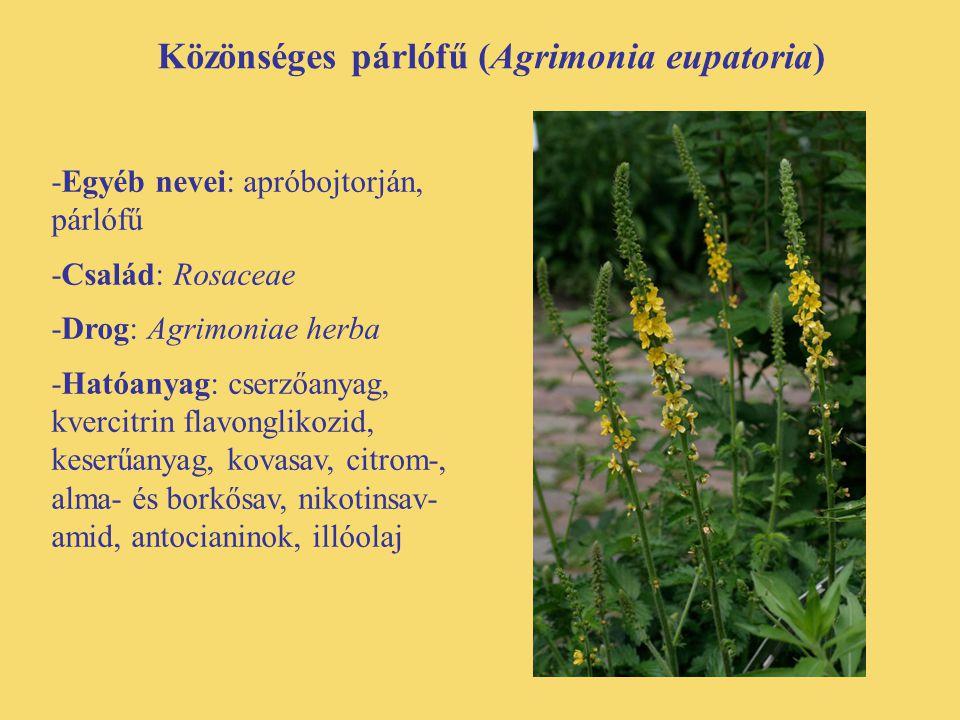 Közönséges párlófű (Agrimonia eupatoria) -Egyéb nevei: apróbojtorján, párlófű -Család: Rosaceae -Drog: Agrimoniae herba -Hatóanyag: cserzőanyag, kverc