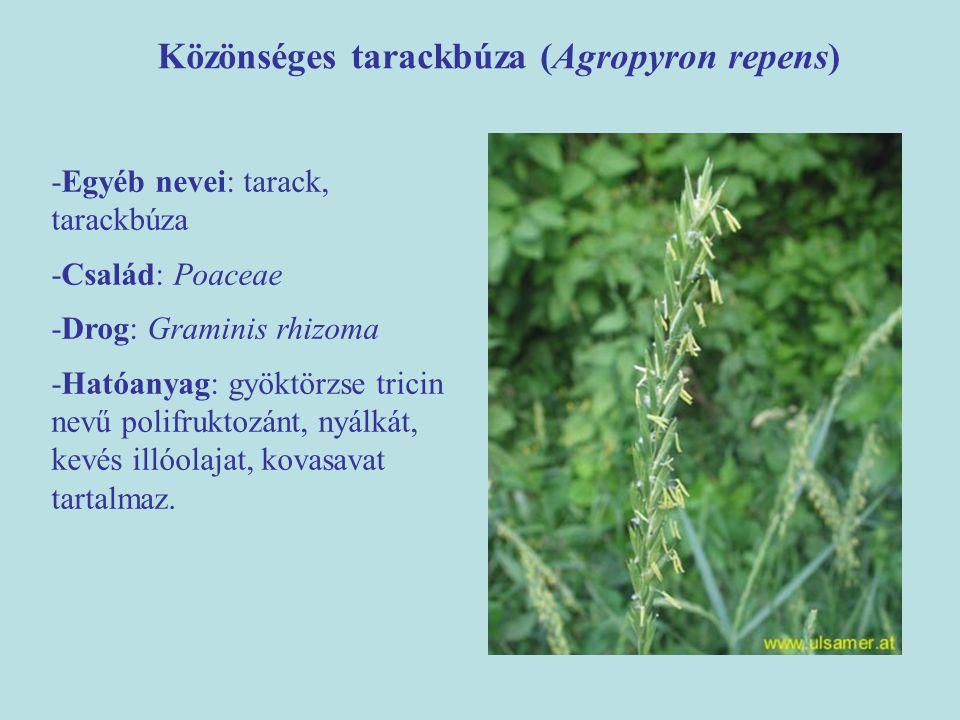 Közönséges tarackbúza (Agropyron repens) -Egyéb nevei: tarack, tarackbúza -Család: Poaceae -Drog: Graminis rhizoma -Hatóanyag: gyöktörzse tricin nevű
