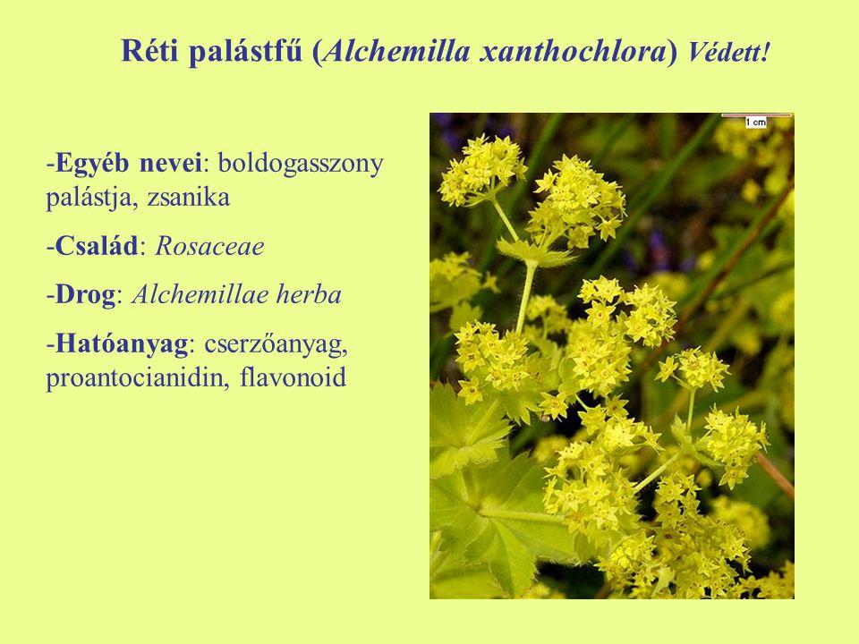 Réti palástfű (Alchemilla xanthochlora) Védett! -Egyéb nevei: boldogasszony palástja, zsanika -Család: Rosaceae -Drog: Alchemillae herba -Hatóanyag: c