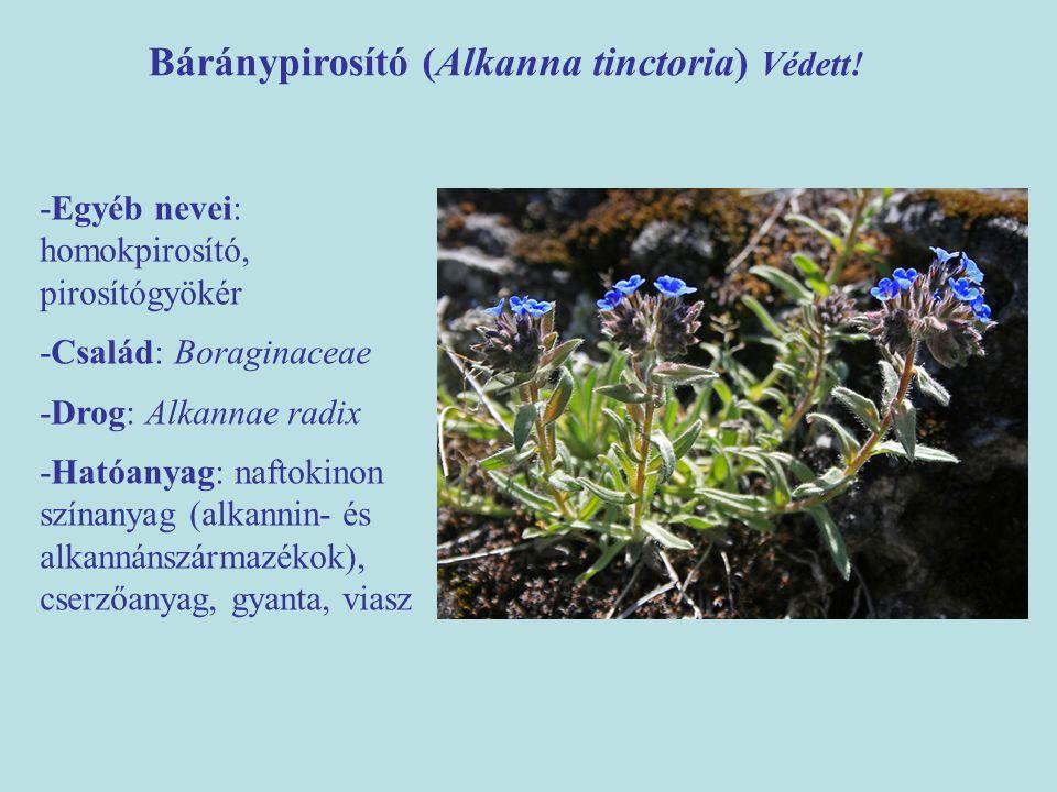 Báránypirosító (Alkanna tinctoria) Védett! -Egyéb nevei: homokpirosító, pirosítógyökér -Család: Boraginaceae -Drog: Alkannae radix -Hatóanyag: naftoki