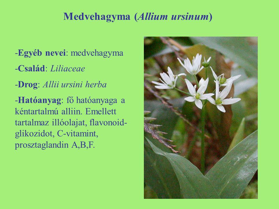 Medvehagyma (Allium ursinum) -Egyéb nevei: medvehagyma -Család: Liliaceae -Drog: Allii ursini herba -Hatóanyag: fő hatóanyaga a kéntartalmú alliin. Em