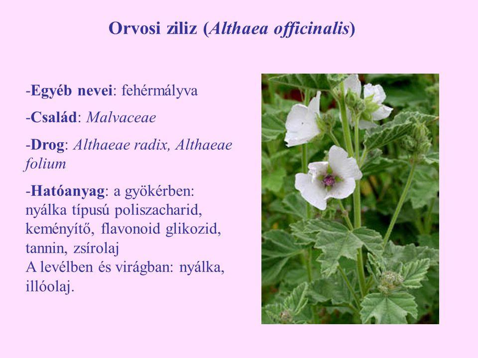 Orvosi ziliz (Althaea officinalis) -Egyéb nevei: fehérmályva -Család: Malvaceae -Drog: Althaeae radix, Althaeae folium -Hatóanyag: a gyökérben: nyálka
