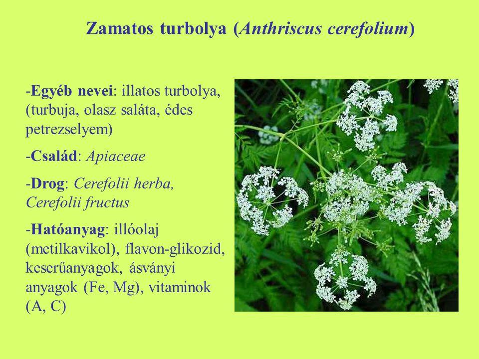 Zamatos turbolya (Anthriscus cerefolium) -Egyéb nevei: illatos turbolya, (turbuja, olasz saláta, édes petrezselyem) -Család: Apiaceae -Drog: Cerefolii