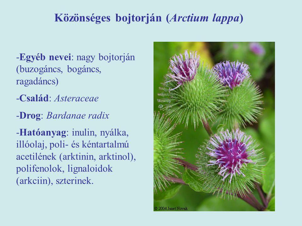 Közönséges bojtorján (Arctium lappa) -Egyéb nevei: nagy bojtorján (buzogáncs, bogáncs, ragadáncs) -Család: Asteraceae -Drog: Bardanae radix -Hatóanyag