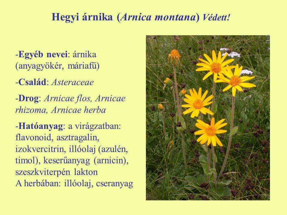 Hegyi árnika (Arnica montana) Védett! -Egyéb nevei: árnika (anyagyökér, máriafű) -Család: Asteraceae -Drog: Arnicae flos, Arnicae rhizoma, Arnicae her