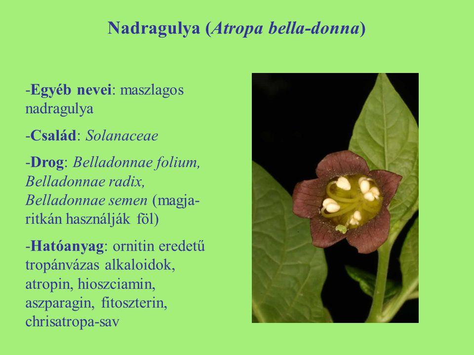 Nadragulya (Atropa bella-donna) -Egyéb nevei: maszlagos nadragulya -Család: Solanaceae -Drog: Belladonnae folium, Belladonnae radix, Belladonnae semen