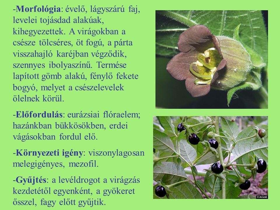 -Morfológia: évelő, lágyszárú faj, levelei tojásdad alakúak, kihegyezettek. A virágokban a csésze tölcséres, öt fogú, a párta visszahajló karéjban vég