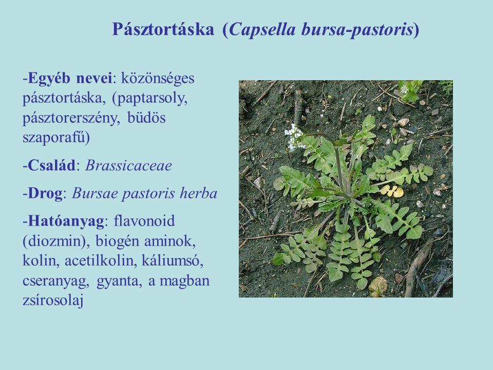 Pásztortáska (Capsella bursa-pastoris) -Egyéb nevei: közönséges pásztortáska, (paptarsoly, pásztorerszény, büdös szaporafű) -Család: Brassicaceae -Dro