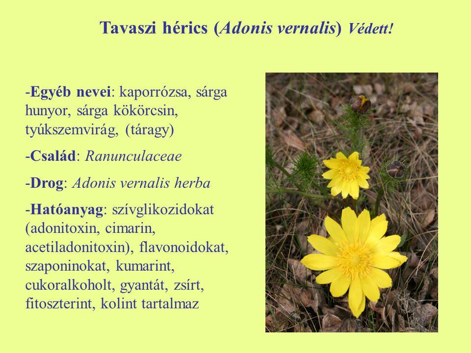 Tavaszi hérics (Adonis vernalis) Védett! -Egyéb nevei: kaporrózsa, sárga hunyor, sárga kökörcsin, tyúkszemvirág, (táragy) -Család: Ranunculaceae -Drog