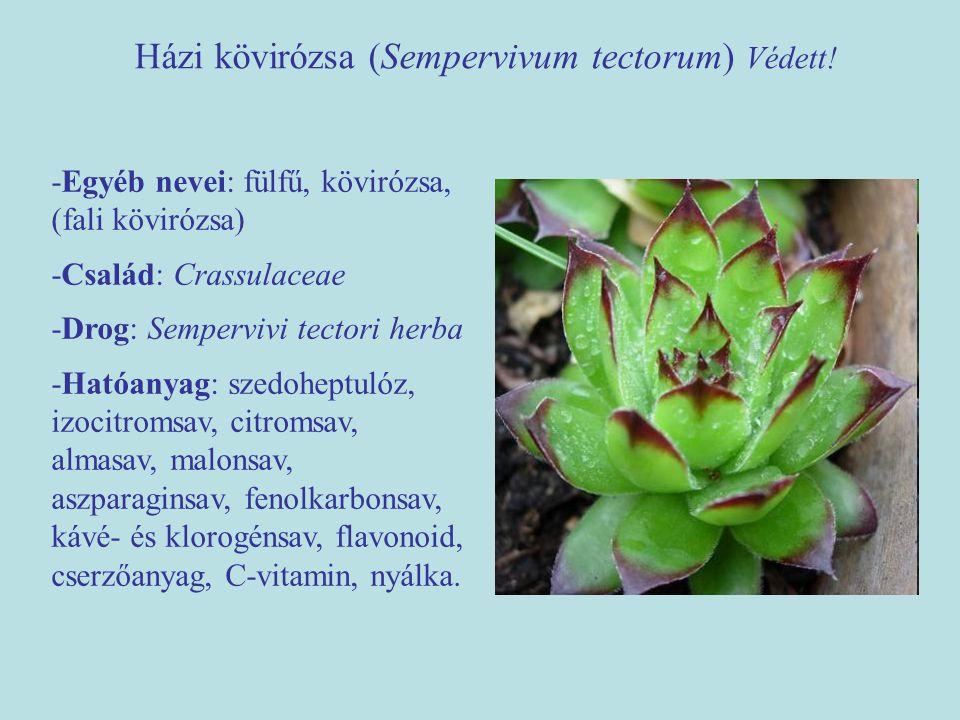 Házi kövirózsa (Sempervivum tectorum) Védett! -Egyéb nevei: fülfű, kövirózsa, (fali kövirózsa) -Család: Crassulaceae -Drog: Sempervivi tectori herba -