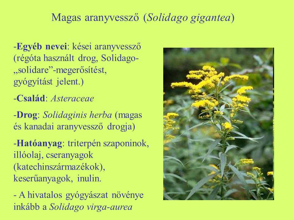 """Magas aranyvessző (Solidago gigantea) -Egyéb nevei: kései aranyvessző (régóta használt drog, Solidago- """"solidare""""-megerősítést, gyógyítást jelent.) -C"""
