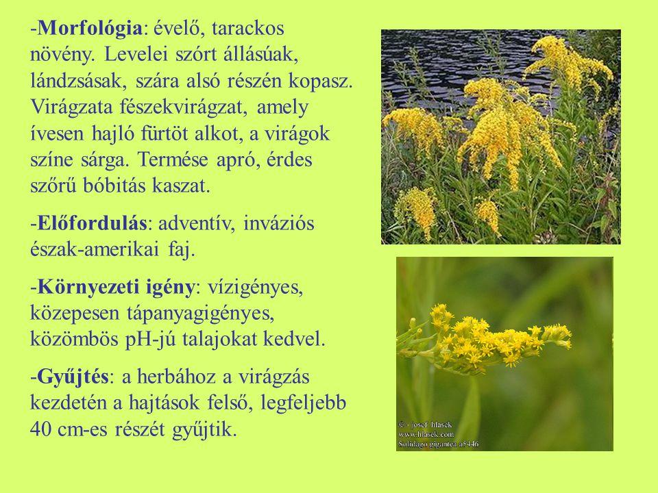 -Morfológia: évelő, tarackos növény. Levelei szórt állásúak, lándzsásak, szára alsó részén kopasz. Virágzata fészekvirágzat, amely ívesen hajló fürtöt