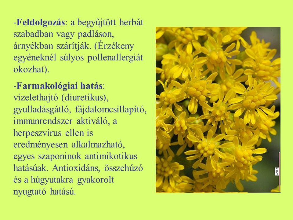 -Feldolgozás: a begyűjtött herbát szabadban vagy padláson, árnyékban szárítják. (Érzékeny egyéneknél súlyos pollenallergiát okozhat). -Farmakológiai h