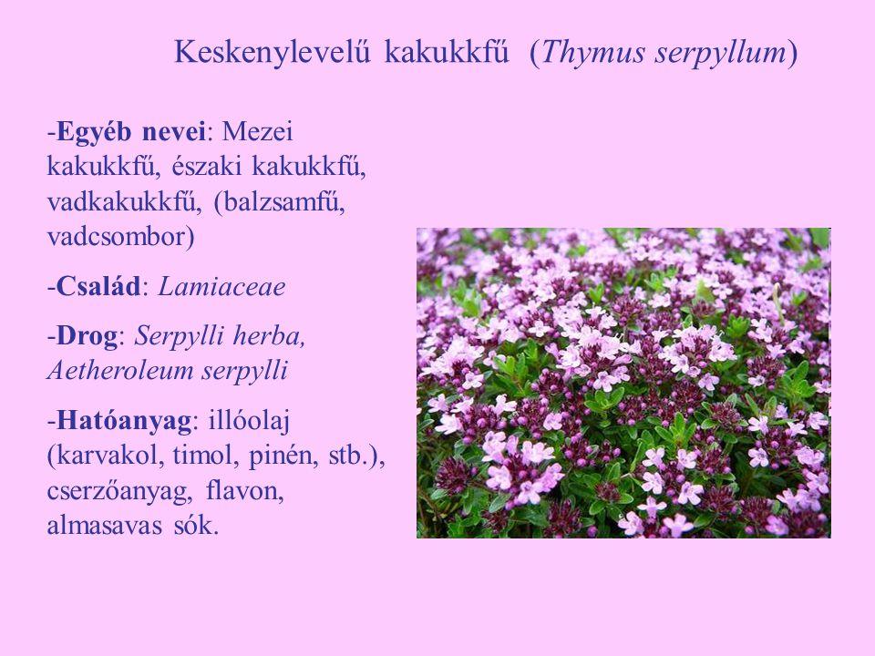 Keskenylevelű kakukkfű (Thymus serpyllum) -Egyéb nevei: Mezei kakukkfű, északi kakukkfű, vadkakukkfű, (balzsamfű, vadcsombor) -Család: Lamiaceae -Drog