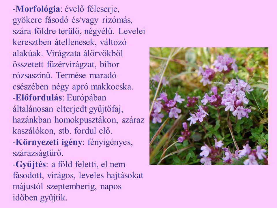 -Morfológia: évelő félcserje, gyökere fásodó és/vagy rizómás, szára földre terülő, négyélű. Levelei keresztben átellenesek, változó alakúak. Virágzata