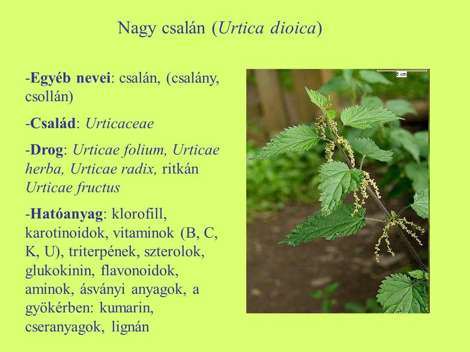Nagy csalán (Urtica dioica) -Egyéb nevei: csalán, (csalány, csollán) -Család: Urticaceae -Drog: Urticae folium, Urticae herba, Urticae radix, ritkán U