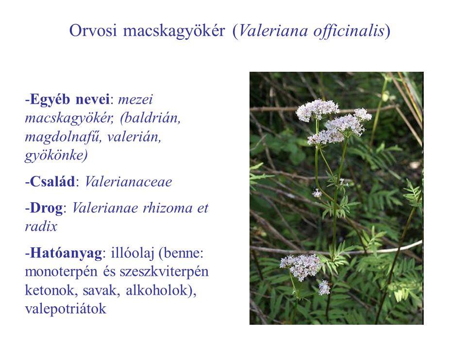 Orvosi macskagyökér (Valeriana officinalis) -Egyéb nevei: mezei macskagyökér, (baldrián, magdolnafű, valerián, gyökönke) -Család: Valerianaceae -Drog: