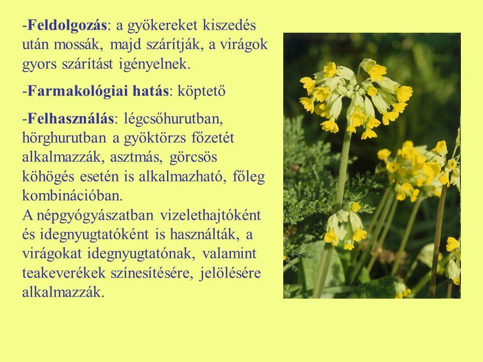 -Feldolgozás: a gyökereket kiszedés után mossák, majd szárítják, a virágok gyors szárítást igényelnek. -Farmakológiai hatás: köptető -Felhasználás: lé
