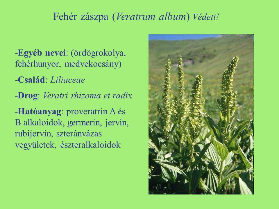 Fehér zászpa (Veratrum album) Védett! -Egyéb nevei: (ördögrokolya, fehérhunyor, medvekocsány) -Család: Liliaceae -Drog: Veratri rhizoma et radix -Ható