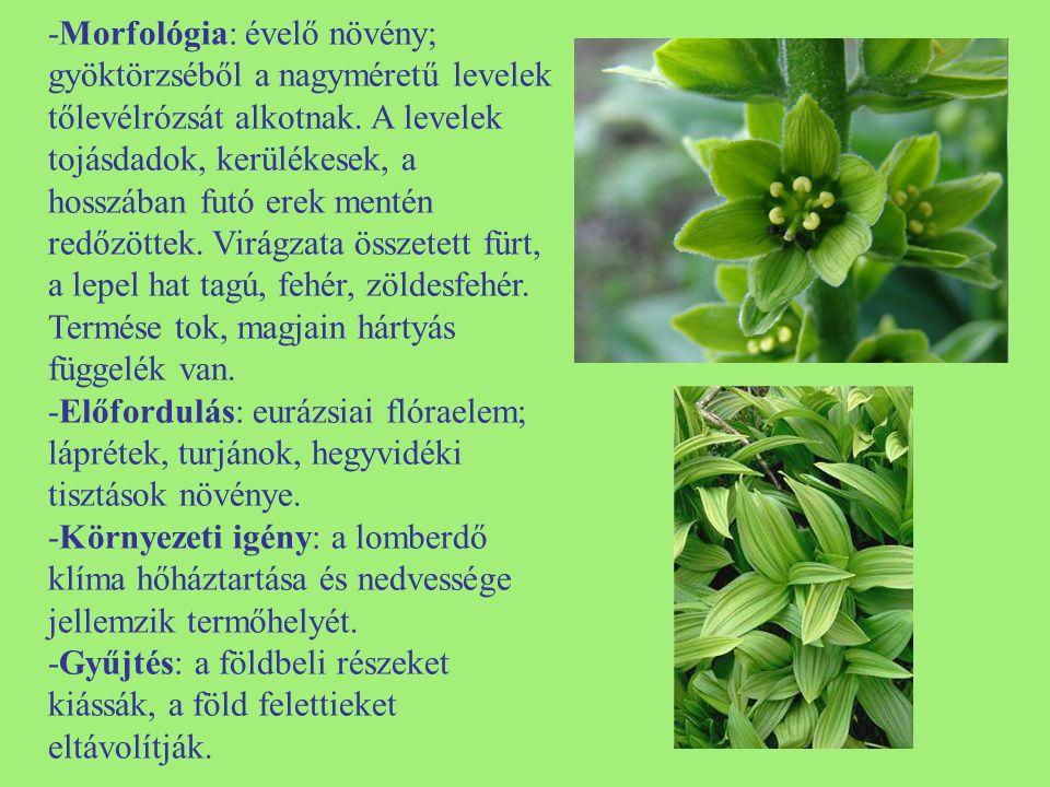 -Morfológia: évelő növény; gyöktörzséből a nagyméretű levelek tőlevélrózsát alkotnak. A levelek tojásdadok, kerülékesek, a hosszában futó erek mentén