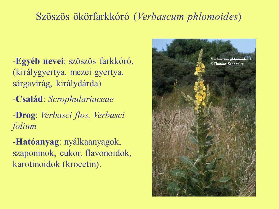 Szöszös ökörfarkkóró (Verbascum phlomoides) -Egyéb nevei: szöszös farkkóró, (királygyertya, mezei gyertya, sárgavirág, királydárda) -Család: Scrophula