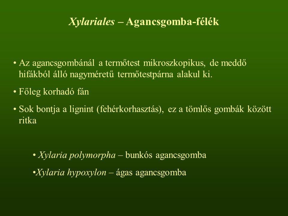Xylariales – Agancsgomba-félék Az agancsgombánál a termőtest mikroszkopikus, de meddő hifákból álló nagyméretű termőtestpárna alakul ki. Főleg korhadó