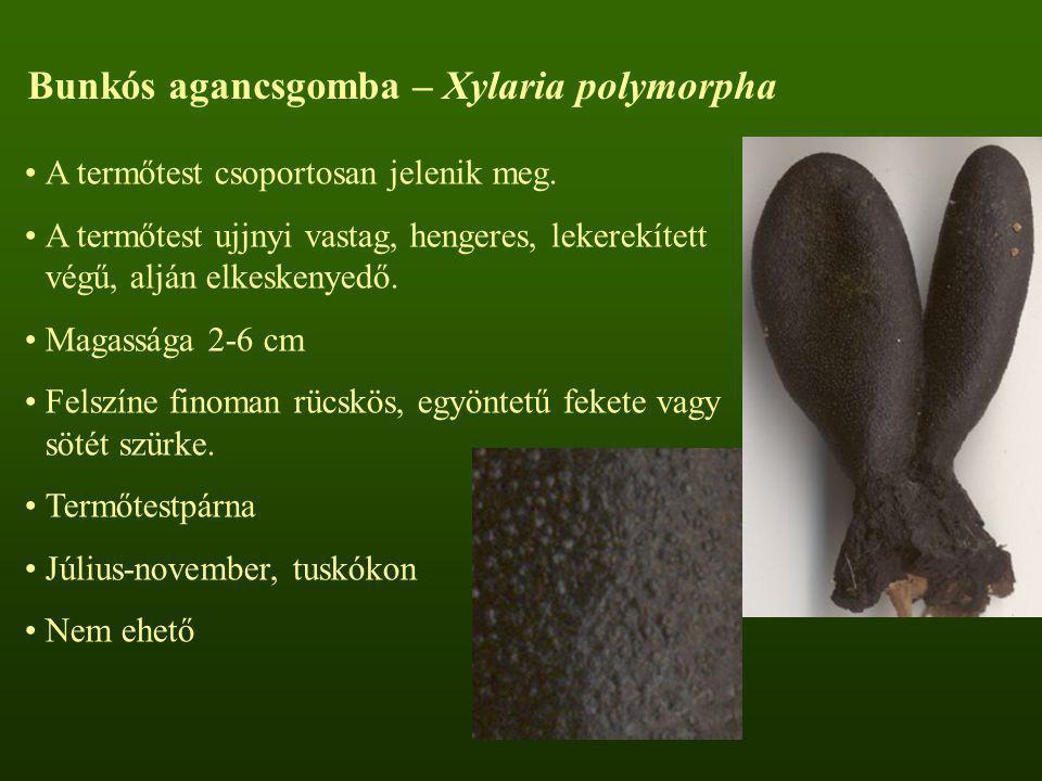 A termőtest csoportosan jelenik meg. A termőtest ujjnyi vastag, hengeres, lekerekített végű, alján elkeskenyedő. Magassága 2-6 cm Felszíne finoman rüc