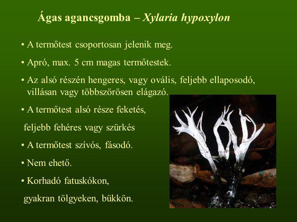 Ágas agancsgomba – Xylaria hypoxylon A termőtest csoportosan jelenik meg. Apró, max. 5 cm magas termőtestek. Az alsó részén hengeres, vagy ovális, fel