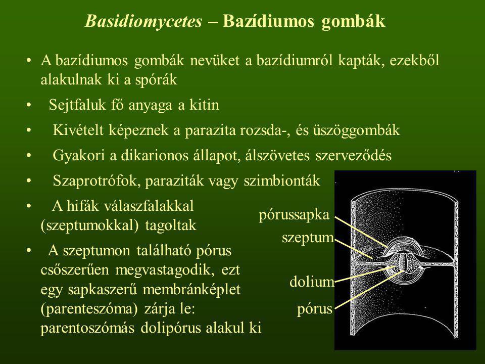 Basidiomycetes – Bazídiumos gombák A bazídiumos gombák nevüket a bazídiumról kapták, ezekből alakulnak ki a spórák Sejtfaluk fő anyaga a kitin Kivétel