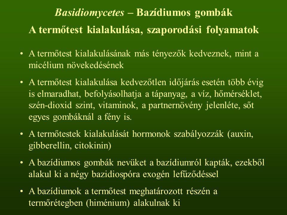 Basidiomycetes – Bazídiumos gombák A termőtest kialakulása, szaporodási folyamatok A termőtest kialakulásának más tényezők kedveznek, mint a micélium