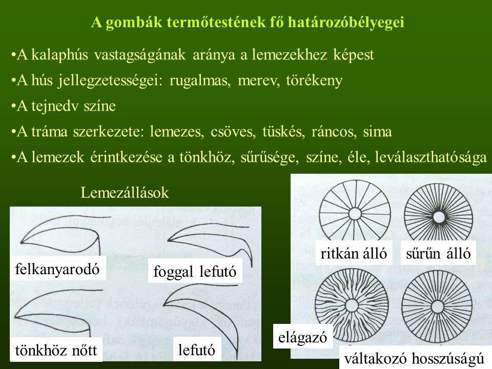 A gombák termőtestének fő határozóbélyegei A kalaphús vastagságának aránya a lemezekhez képest A hús jellegzetességei: rugalmas, merev, törékeny A tej