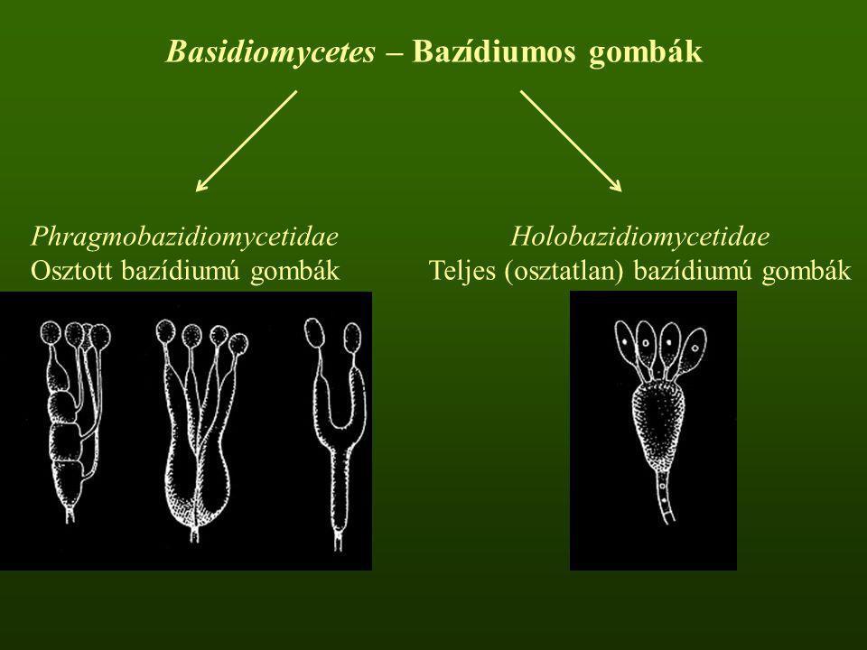 Basidiomycetes – Bazídiumos gombák Phragmobazidiomycetidae Osztott bazídiumú gombák Holobazidiomycetidae Teljes (osztatlan) bazídiumú gombák