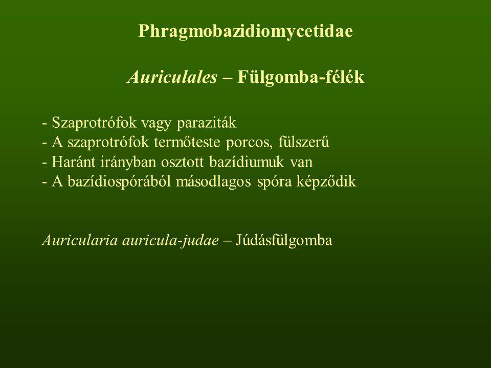 - Szaprotrófok vagy paraziták - A szaprotrófok termőteste porcos, fülszerű - Haránt irányban osztott bazídiumuk van - A bazídiospórából másodlagos spó