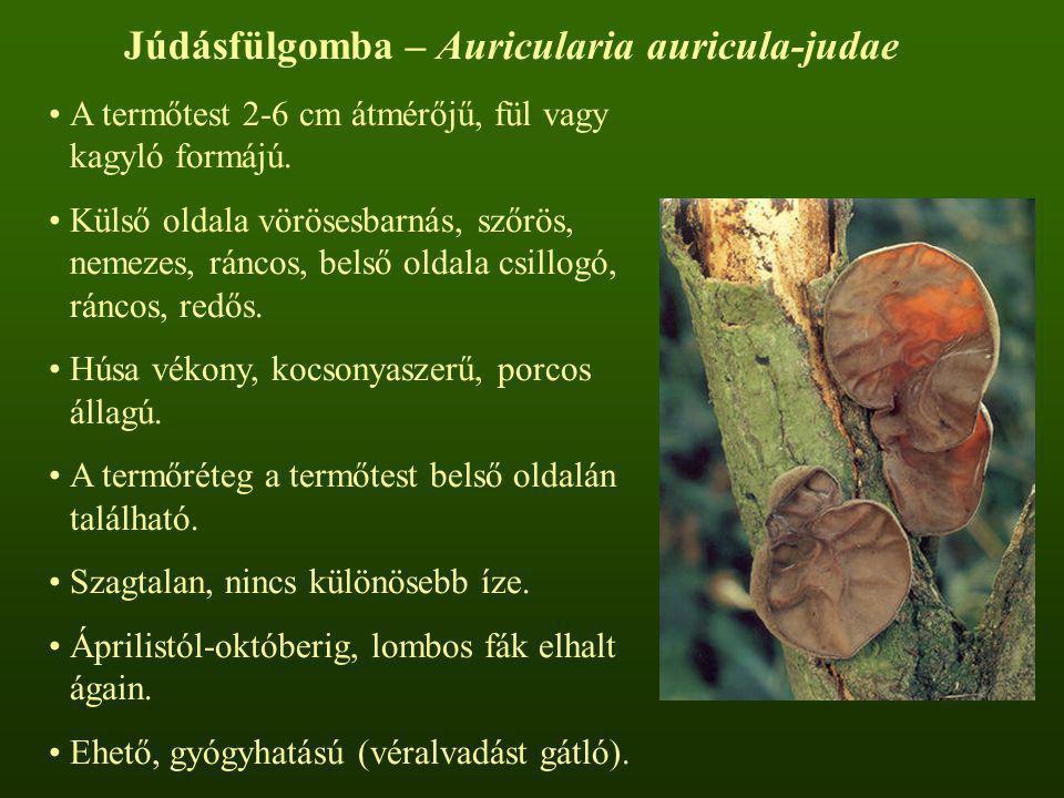 Júdásfülgomba – Auricularia auricula-judae A termőtest 2-6 cm átmérőjű, fül vagy kagyló formájú. Külső oldala vörösesbarnás, szőrös, nemezes, ráncos,