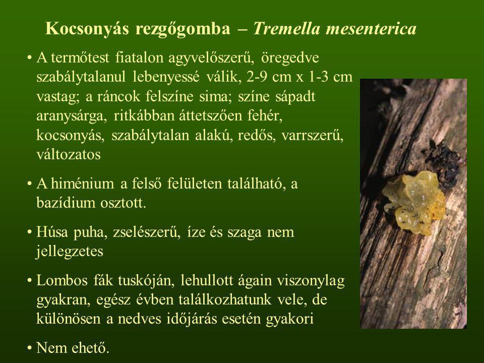 Kocsonyás rezgőgomba – Tremella mesenterica A termőtest fiatalon agyvelőszerű, öregedve szabálytalanul lebenyessé válik, 2-9 cm x 1-3 cm vastag; a rán
