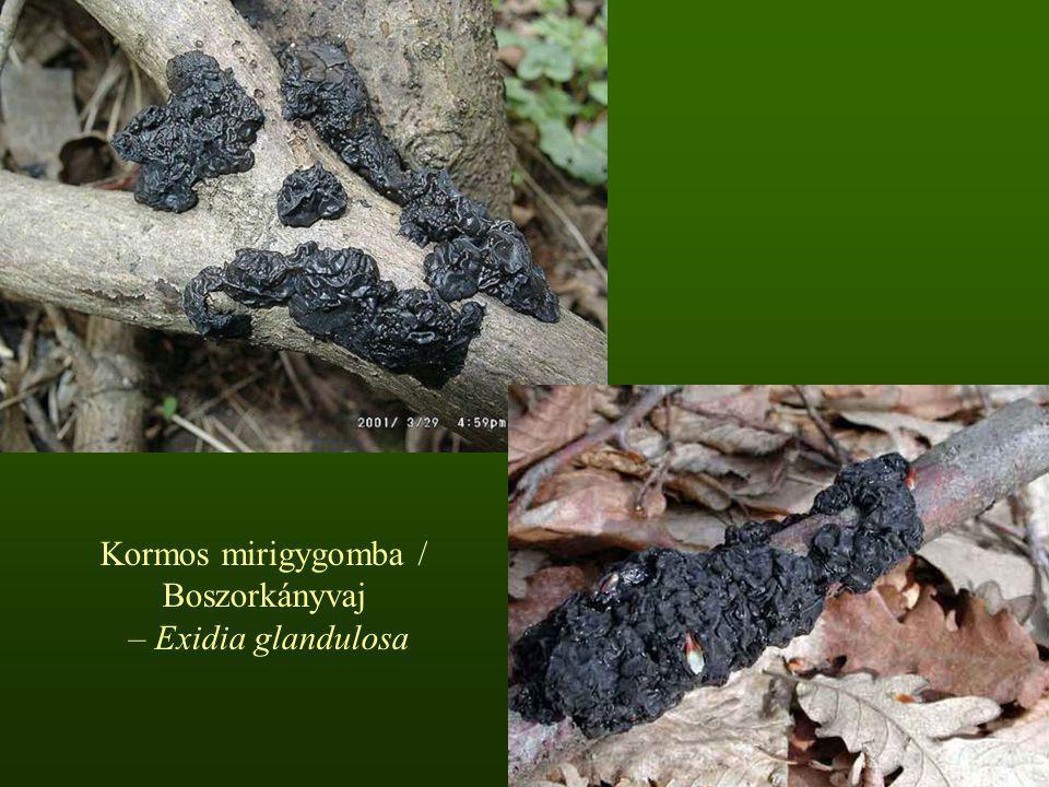 Kormos mirigygomba / Boszorkányvaj – Exidia glandulosa