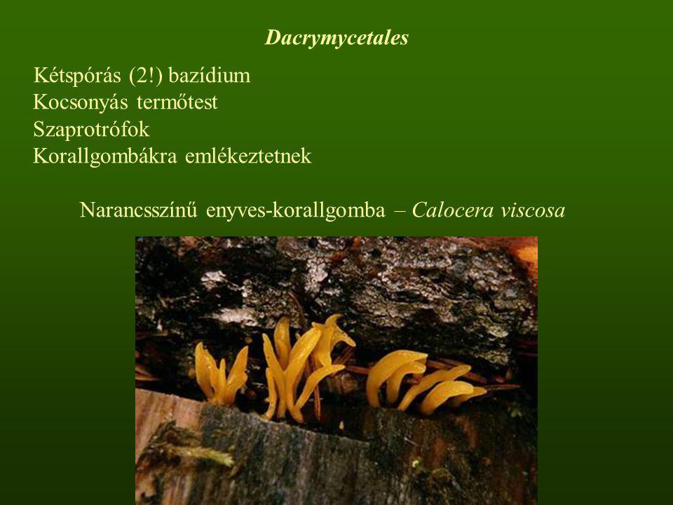 Kétspórás (2!) bazídium Kocsonyás termőtest Szaprotrófok Korallgombákra emlékeztetnek Narancsszínű enyves-korallgomba – Calocera viscosa Dacrymycetale