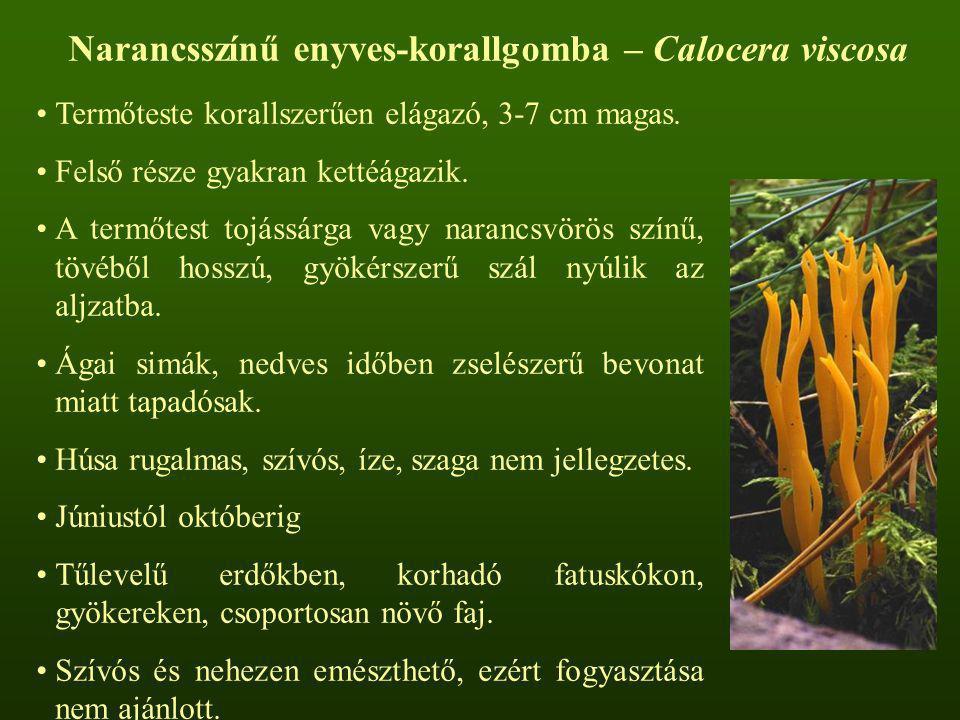 Termőteste korallszerűen elágazó, 3-7 cm magas. Felső része gyakran kettéágazik. A termőtest tojássárga vagy narancsvörös színű, tövéből hosszú, gyöké