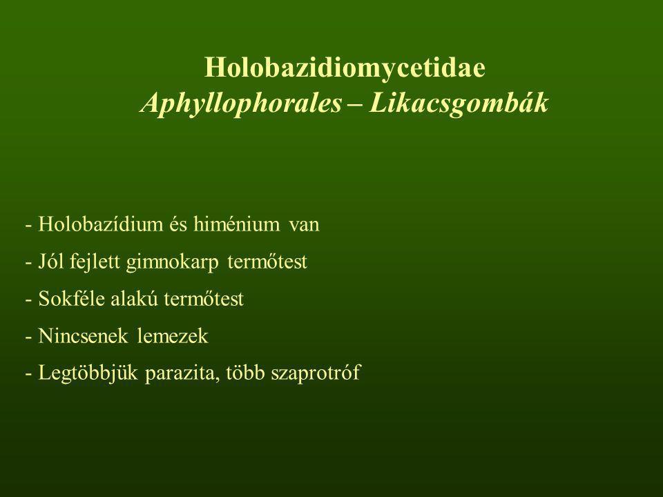 Holobazidiomycetidae Aphyllophorales – Likacsgombák - Holobazídium és himénium van - Jól fejlett gimnokarp termőtest - Sokféle alakú termőtest - Nincs